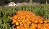 Arata Pumpkin Farm - Arata Pumpkin Farm: Minotaur's Labyrinth Hay Maze and Haunted Barn Experience for Two or Four at Arata Pumpkin Farm (Up to 31% Off)