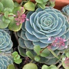 Live Hens and Chicks Succulent Plant