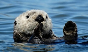 Blue Water Ventures: $31 for a Seals and Sea Otter Watch Kayak Tour of Elkhorn Slough (Up to $62 Value)