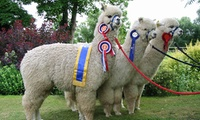 Alpaca Walk and Felting Experience for One or Two at Charnwood Forest Alpacas (50% Off)