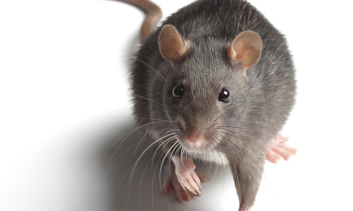 Urthco Inc. - Sacramento: Two-Week Rodent-Trapping Program and Entry-Point Inspection from Urthco Pest Control (45% Off)
