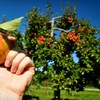 Up to 60% Off Apple Picking in Gardiner