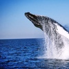 7 Seas Whale Watch – Up to 40% Off Whale-Watching Trips