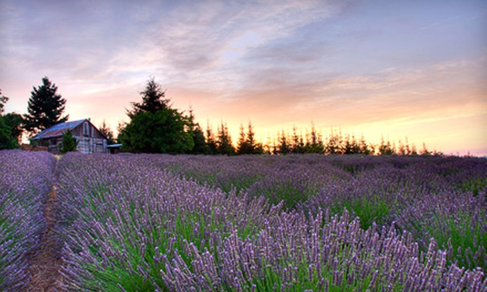 Mountainside Lavender - Beaverton-Hillsboro: $10 for Four Pick-Your-Own Lavender Bouquets at Mountainside Lavender ($20 Value)