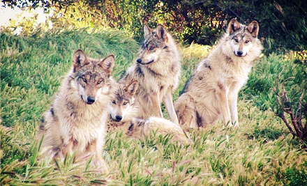 Wolf Recovery Today Tour for One or Two or One-Year Membership for Four at California Wolf Center (Up to 56% Off)