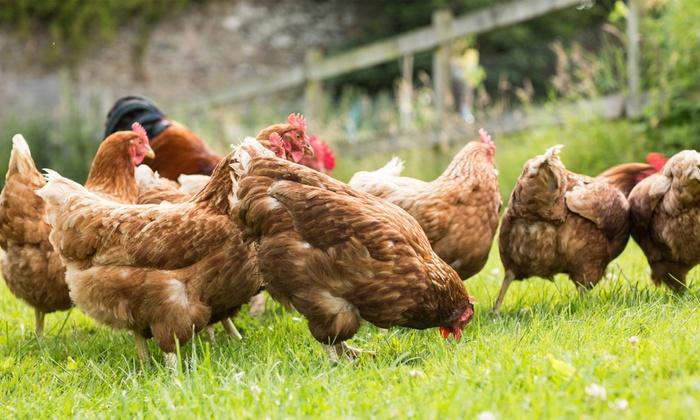 Backyard Chicken-Keeping Class - Mill Valley: Meet Backyard Chickens and Learn How to Start an Urban Coop