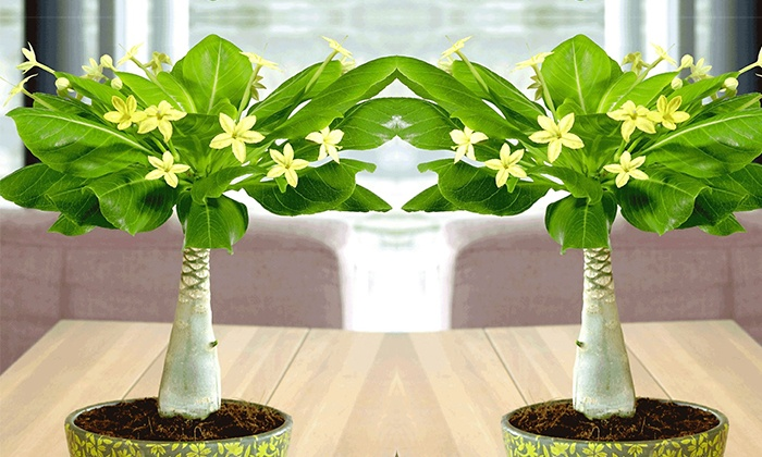 2er set hawaii palme groupon goods - Zimmerpflanzen halbschatten ...