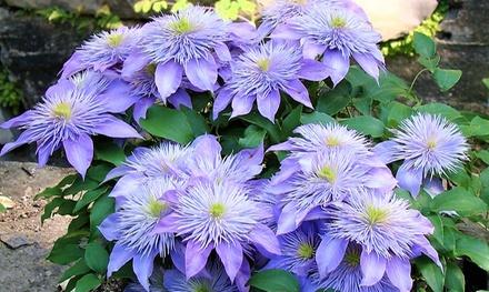 Lots 2, 4 ou 6 Clématites Josephine à double fleur