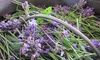 Sherwood Lavender Farm - Sherwood: Lavender-Picking Experience for 2, 4, or 6, or Photo Shoot for 2 at Sherwood Lavender Farm (Up to 50% Off)