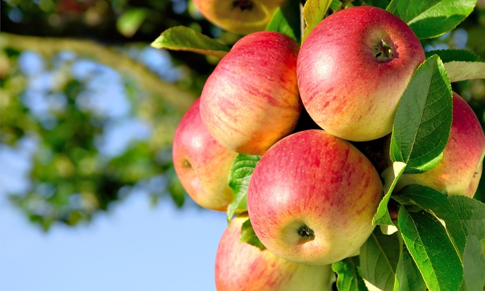 Aaron Family Orchards - Ellijay: $10 for $20 Worth of Apples and Baked Goods at Aaron Family Orchards