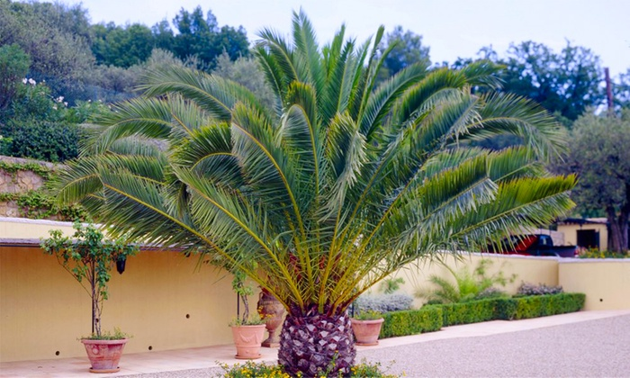 Phoenix Palm Trees | Groupon Goods