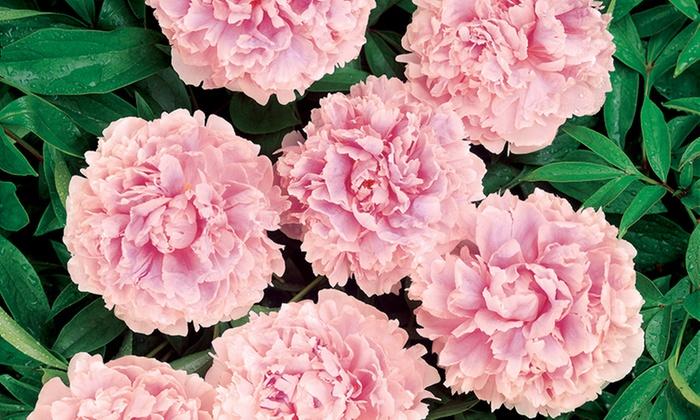 Pre Order Pink Peonies Plants 3 Pack Groupon