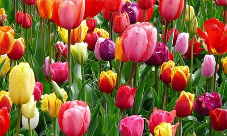 Pre-Order Darwin Hybrid Tulip Pure Perennial Bulbs (25- or 50-Pack) 45d1449c-d90e-49bb-9565-3cccc71746b0