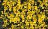 Winter Flowering Yellow Jasmine