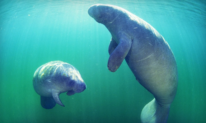 Adventure Diving - Crystal River: $26 for Three-Hour Manatee Snorkeling Tour from Adventure Diving ($55 Value)