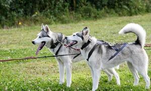 Schlittenhunde Erlebnis: 1,5 Std. geführte Husky-Trekkingtour für 2 oder 4 Personen mit Schlittenhunde-Erlebnis (25% sparen*)