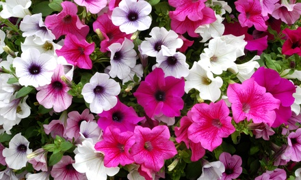 Mix of 5, 10 or 20 Surfinia Petunia Plants with Optional Baskets
