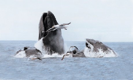 Four-Hour Whale-Watching Cruise for One, Two, or Four Adults from Cape Ann Whale Watch (Up to 40% Off)