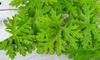 Mosquito-Repellent Citronella Plant