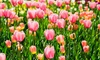 Customized Tours - EMP at the Seattle Center: $125 for Skagit Valley Tulip Festival Tour for Two on April 4, 11, or 18 from Customized Tours ($220 Value)