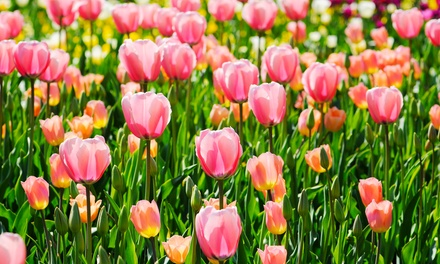 $125 for Skagit Valley Tulip Festival Tour for Two on April 4, 11, 18, or 25, from Customized Tours ($220 Value)