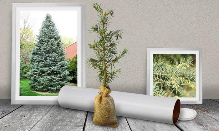 Evergreen Tree Seedlings Groupon Goods - Christmas Tree Seedlings
