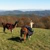 Up to 63% Off Farm Visits at Smoky Mountain Llama Treks