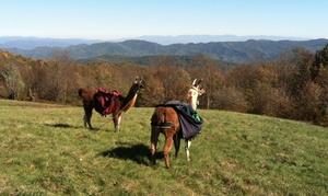 Smoky Mountain Llama Treks: Llama-Farm Visit for 2, 4, or Up to 10 from Smoky Mountain Llama Treks (Up to 55% Off)