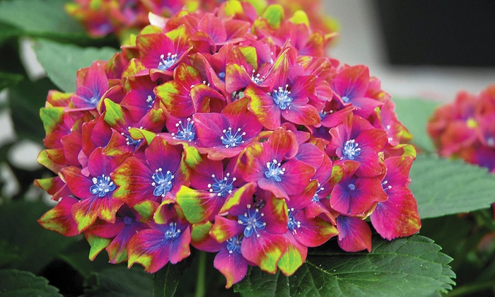 Van Meuwen: Two Hydrangea Hardy Shrubs: Glam Rock and Swinging Sixties from  £8.99 ...