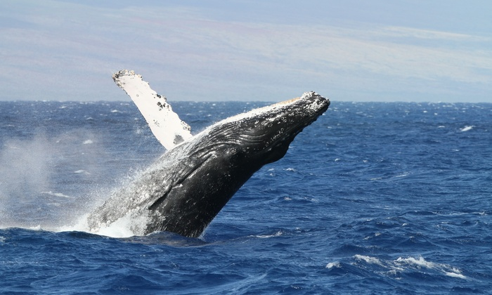 Hang Loose Boat Tours - Honokohau Harbor -North Side: Whale-Watching Tour for One, Two, or Four from Hang Loose Boat Tours (Up to 41% Off)