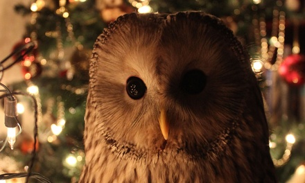 90Minute Xmas Owl Experience for One or Two at Shropshire Falconry