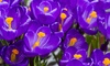 Dutch Crocus Bulbs Direct from Holland (100 Bulbs): Dutch Crocus Bulbs Direct from Holland (100 Bulbs)