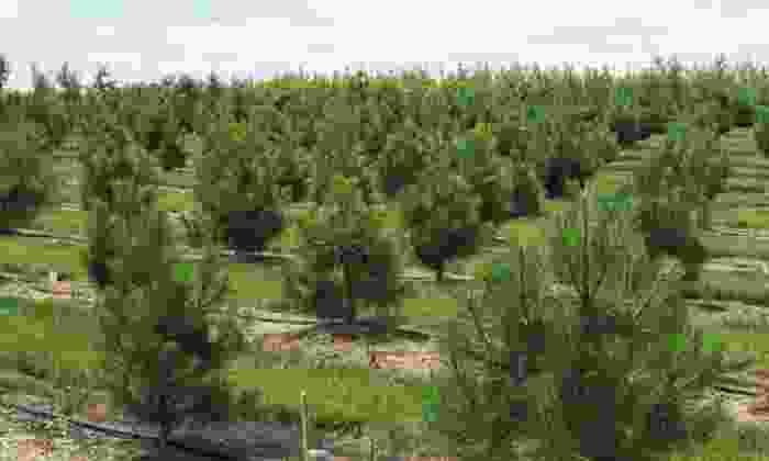 Bentley Ridge Tree Farm & Nursery - Urbandale: Locally Grown Trees and Shrubs at Bentley Ridge Tree Farm & Nursery (50% Off). Three Options Available.