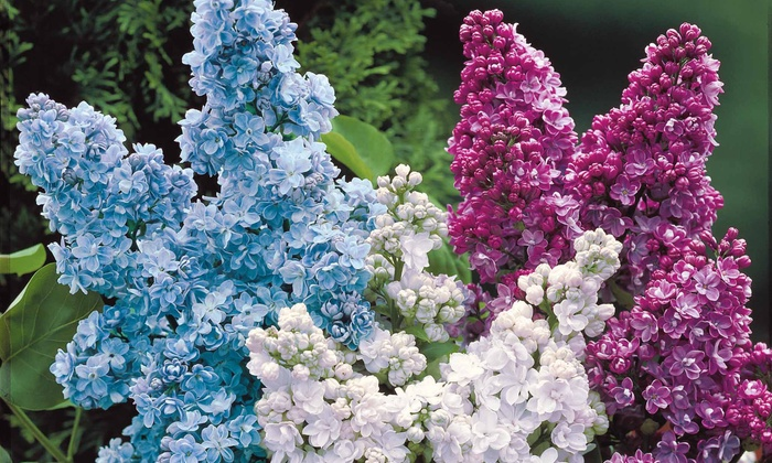 Groupon Goods Global GmbH: Four Different-Coloured Lilac Plants With Free Delivery