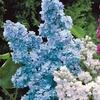 Four Lilac Plants
