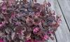 Set 3 piante Chinese Fringe Flower