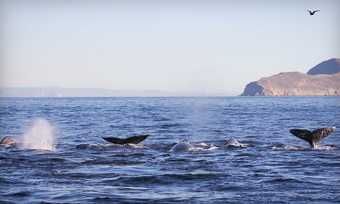 Pacific Seafari Tours - H&M Landing: Three-Hour Winter Whale-Watching Cruise for One, Two, or Four at Pacific Seafari Tours (Up to 55% Off)