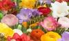 Grand Freesia and Ranunculus Blended Flower Bulbs (25-Pack)