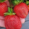 Half Off Strawberry Picking at Mercier Orchards