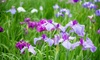 Pre-Order: Japanese Iris Kyoto Mix Bare Root Plants (3-Pack): Pre-Order: Japanese Iris  Kyoto Mix Bare Root Plants (3-Pack)