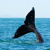 Up to 52% Off a Puget Sound Whale-Watching Tour