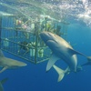 Up to 14% Off Cage-Dive Tour from North Shore Shark Adventures