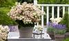 1 ou 2 plantes Hydrangea paniculata (S)witch® Ophelia