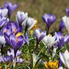 Pre-Order Crocus Spring Mix (25 bulbs)