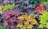 Five Heuchera Mosaic Plants