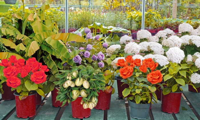 Packs willemse groupon for Willemse fleurs