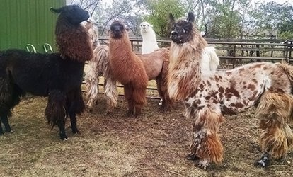 image for Llama Llesson for One, Two, or Four at ShangriLlama (Up to 40% Off)