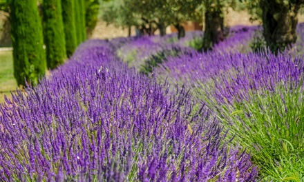Lavender Hidcote and Munstead Collection