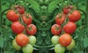 Three or Six Tomato Moneymaker Plants