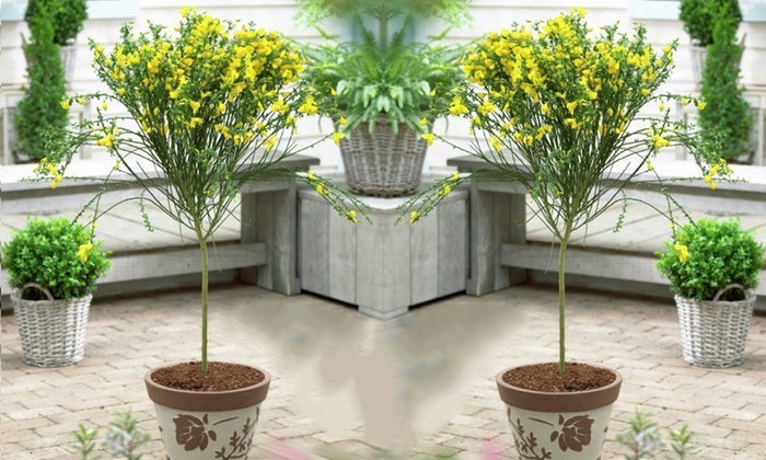 Gardening Express: Two Evergreen Scottish Cytisus Bloom Patio Trees For  £24.99 With Free Delivery ...